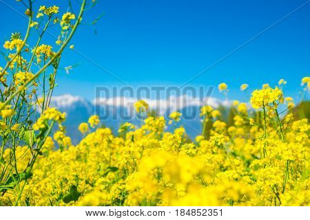 Mustard field with Beautiful  snow covered mountains landscape Kashmir state, India