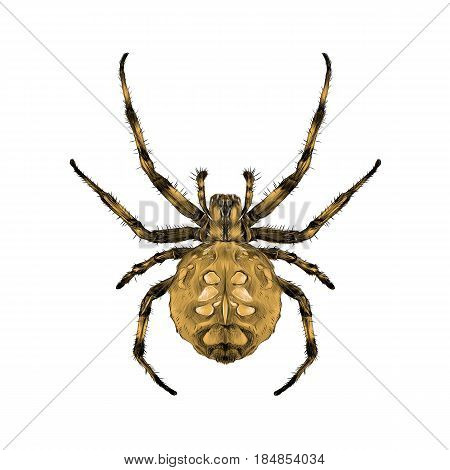 a spider with spots on the back brown symmetrical top view sketch vector graphics color picture