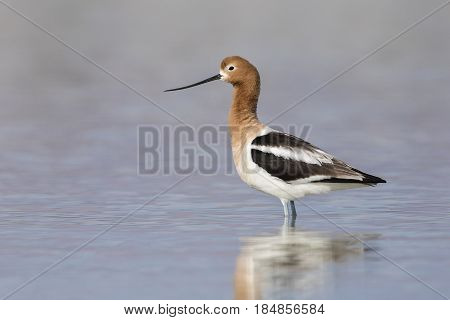 American Avocet Standing In A Shallow Lake - Nevada
