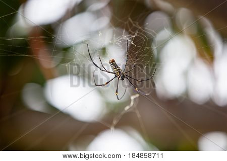 Large tropical spider - nephila golden orb on the cobweb, Indonesia