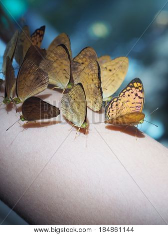 Close up group of butterfly sit on human arm.