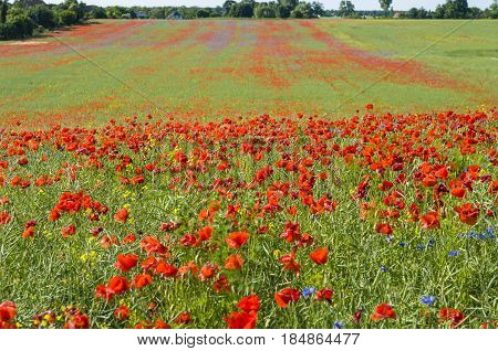 A field of poppies. Focus on the foreground.