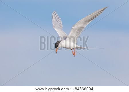 Common tern (Sterna hirundo) hovering and searching for fish. Santa Clara County, California, USA.