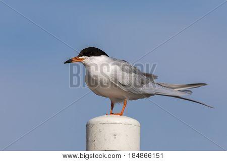 Common tern (Sterna hirundo) perching on a pole. Santa Clara County, California, USA.