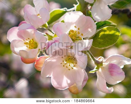 The Blooming apple tree in the garden