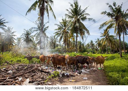 Cows eat food at the dump on the background of palm trees