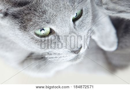 Portrait of the gray cat indoors. Close-up horizontal photo