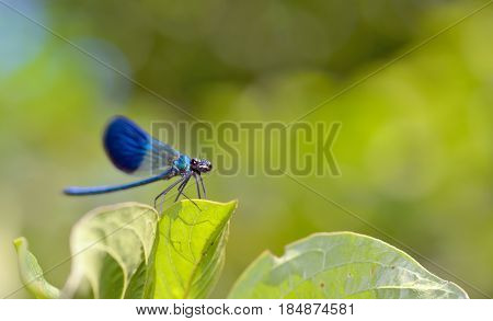 dragonfly in forest (coleopteres splendens), close up
