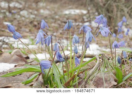 bushy growing flowers of the Scilla siberica