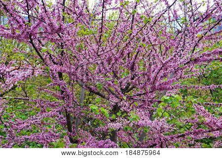 multiple tree branches, strewn with purple flowers, flowering tree, cherry