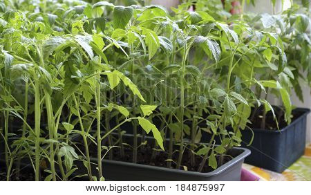 The spring planting. Early tomato seedlings grown from seeds in boxes at home on the windowsill.