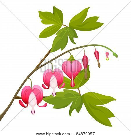 Bleeding heart flowers isolated realistic vector illustration on white background. Asian bleeding-heart plants with green leaves