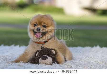 Pomeranian On Green Gass