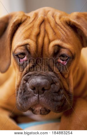 German Boxer - Puppy Dog With Sad Eyes