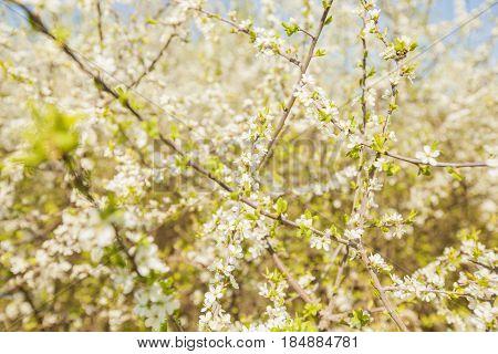 Spring Flower Tree Blooming