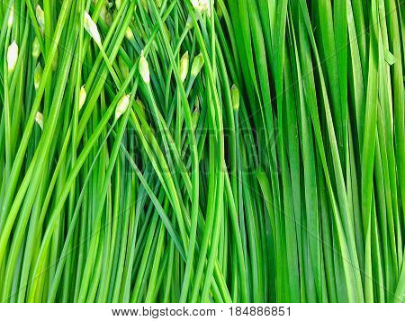 Close up fresh green onions background at market