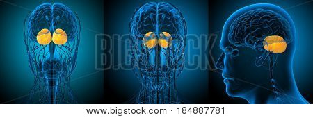 3d rendering medical illustration of the human brain cerebrum