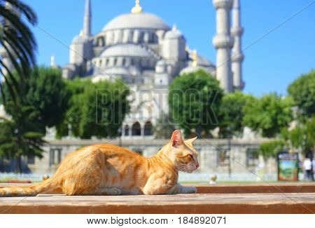 Ginger sunny cat in front of Blue Mosque ( Sultan Ahmet Camii ) in Istanbul Turkey