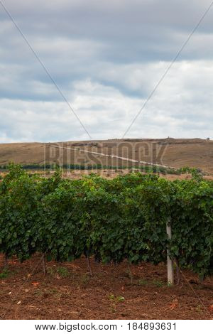 beautiful landscape with vineyard valley. background
