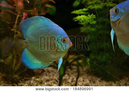 Discus (Symphysodon) cichlids in the aquarium the freshwater fish native to the Amazon River basin