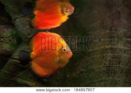 Discus (Symphysodon) red cichlid and its reflection in the surface water the freshwater fish native to the Amazon River basin