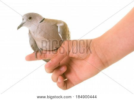 Eurasian collared dove in front of white background