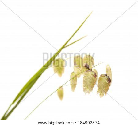 Briza Maxima, Big Quaking Grass