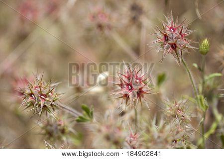 Flora Of Gran Canaria - Trifolium Stellatum