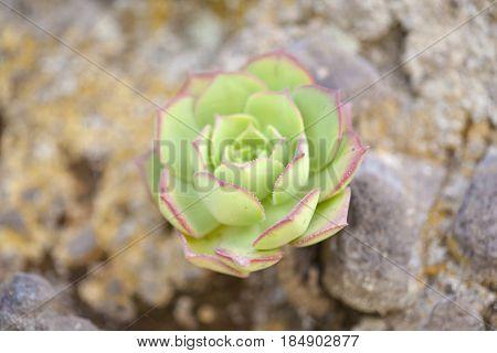 Flora Of Gran Canaria - Aeonium