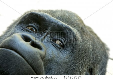 Extreme closeup of face of lowland gorilla