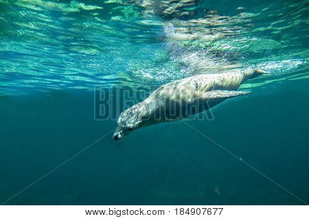 Californian sea lion (Zalophus californianus) swimming underwater.