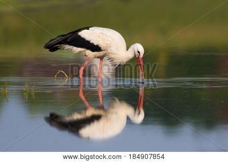 White stork Ciconia ciconia on hunting the marsh