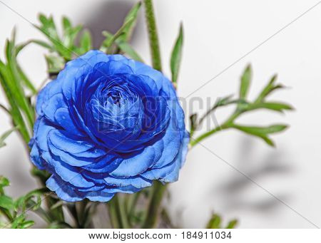 Blue Ranunculus Flower, Ranunculaceae Family. Genus Include The Buttercups, Spearworts, And Water Cr