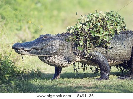 Alligator crossing with some water plants on its back after coming out of swamp