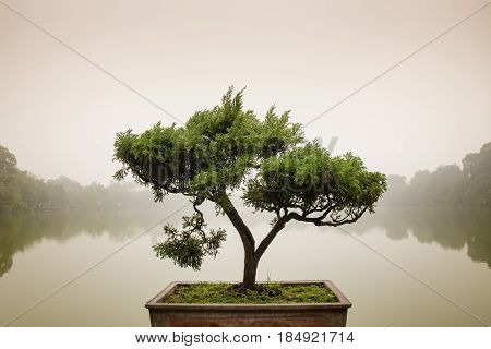 Japanese bonsai tree in pot at zen garden. Bonsai is a Japanese art form using trees grown in containers elegant design with copy space for placement your text mock up