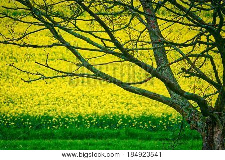 Rapeseed field by tree with delicate branches