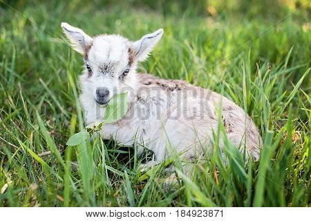 cute little gray goat on the summer meadow
