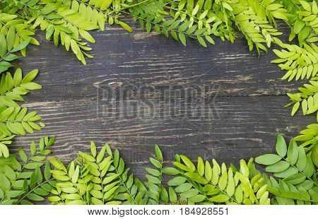 Spring background with green fresh acacia leaves