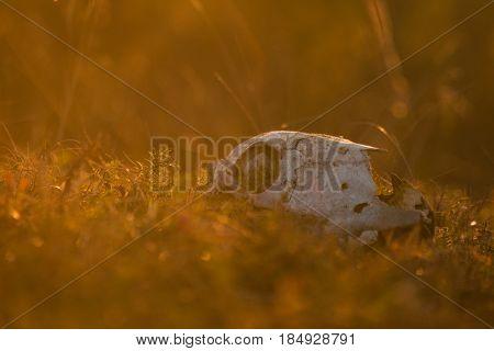 Animal skull in a atumn grass, sunrise morning