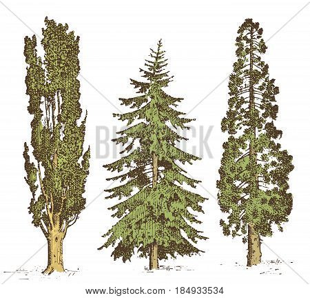 set of hand drawn trees italian cypress and stone pine , pinea, isolated vector illustration, engraved symbols of south, evergreen.