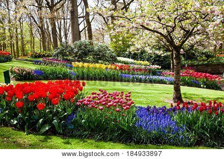 Different color tulips in Keukenhof park in Amsterdam area, Netherlands. Spring blossom in Keukenhof