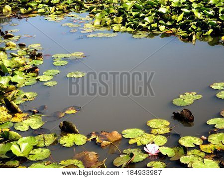 a view of water lilies in summer