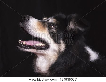 Beautiful black and white border collie on a black background