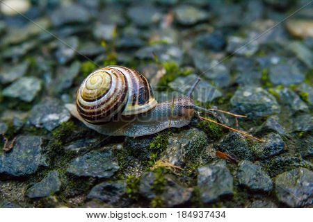 Snail Crawling On A Hard Rock Texture In The Garden. Brown Striped Snail Walking Around The Garden I