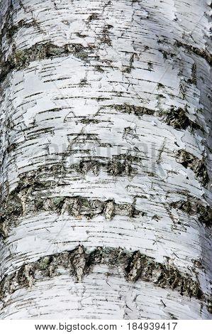 Birch Bark Texture.  Natural background.  Tree trunk