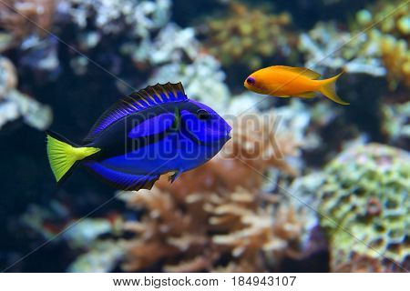 Blue tang (Paracanthurus hepatus) a number of common names are attributed to the species including Palette surgeonfish Regal tang and Dottyback