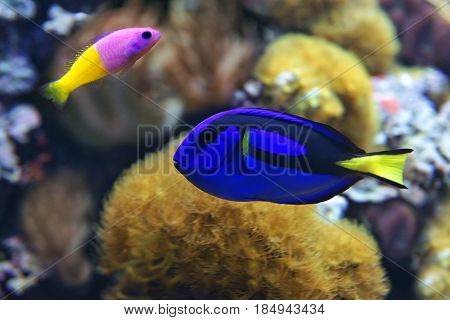 Blue tang (Paracanthurus hepatus) a number of common names are attributed to the species including Palette surgeonfish Regal tang and Bicolor Dottyback (Pictichromis paccagnella)