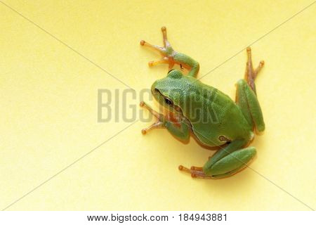 Tree frog (Hyla arborea) , on a yellow background