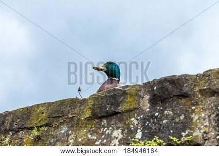 Male mallard (Anas platyrhynchos) on a medieval stone wall fortress