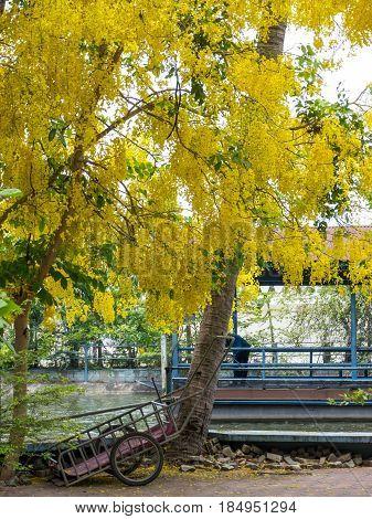 Golden shower or Cassia fistula tree in garden